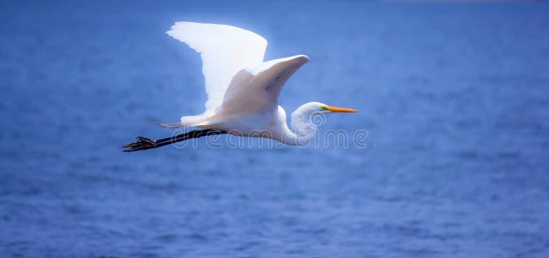Weißer Reiher im Flug stockfoto