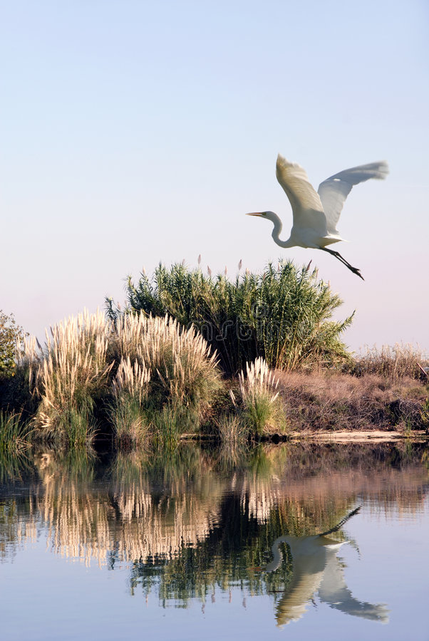 Weißer Reiher im Flug stockfotografie