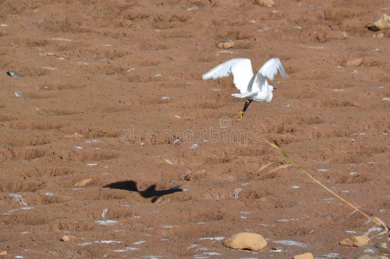 Weißer Reiher im Flug, der einen schwarzen Schatten wirft stockfoto