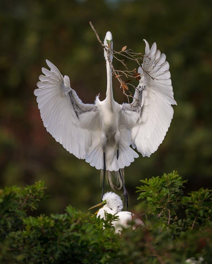 Weißer Reiher kommt mit Nestmaterial an lizenzfreie stockfotografie
