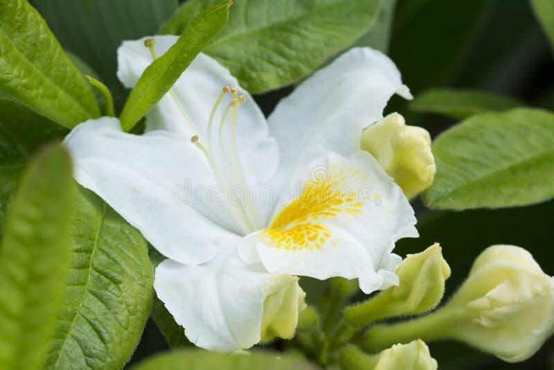 Weißer Rhododendron stockbild