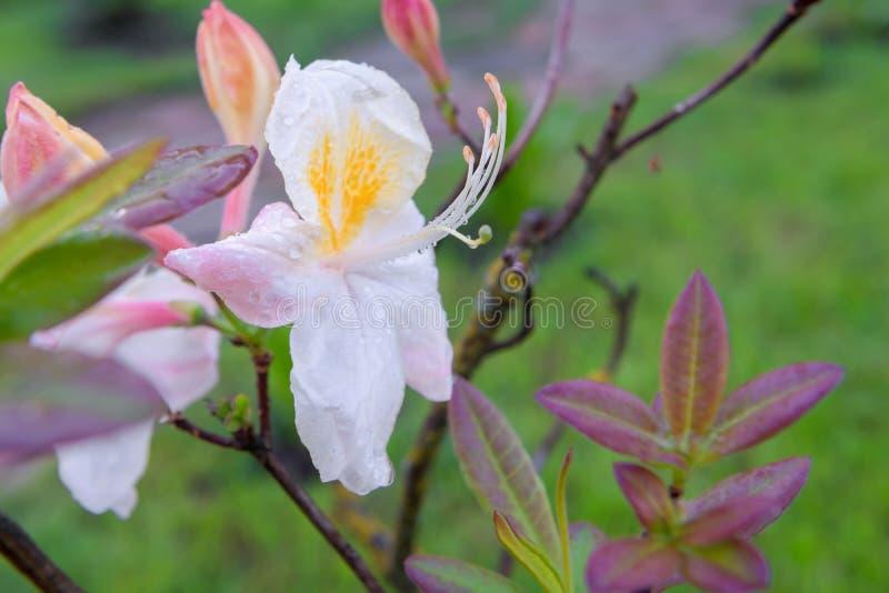 Weißer Rhododendron blüht (Rhododendron) lizenzfreies stockfoto