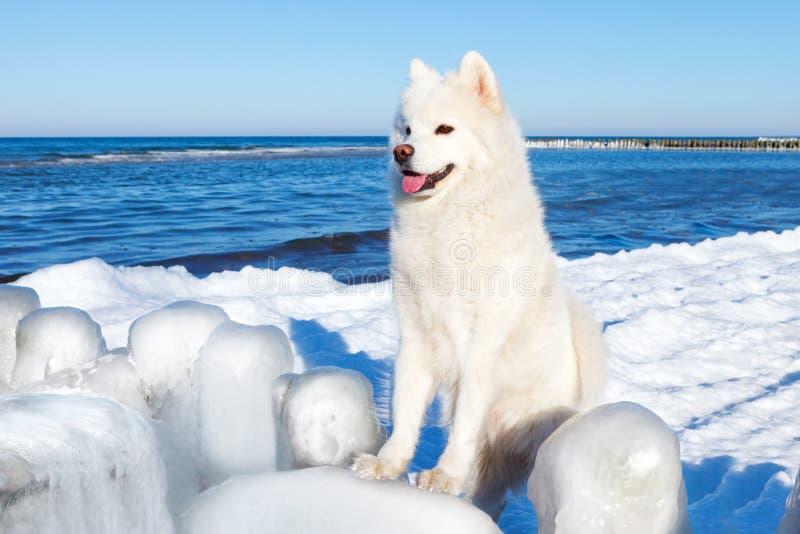 Weißer Samoyedhund, der das schöne Wintermeer betrachtet stockfoto