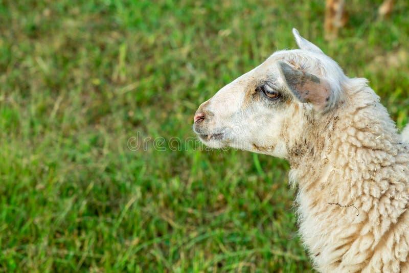 Weißer Schafskopf auf grünem Grund stockfotos
