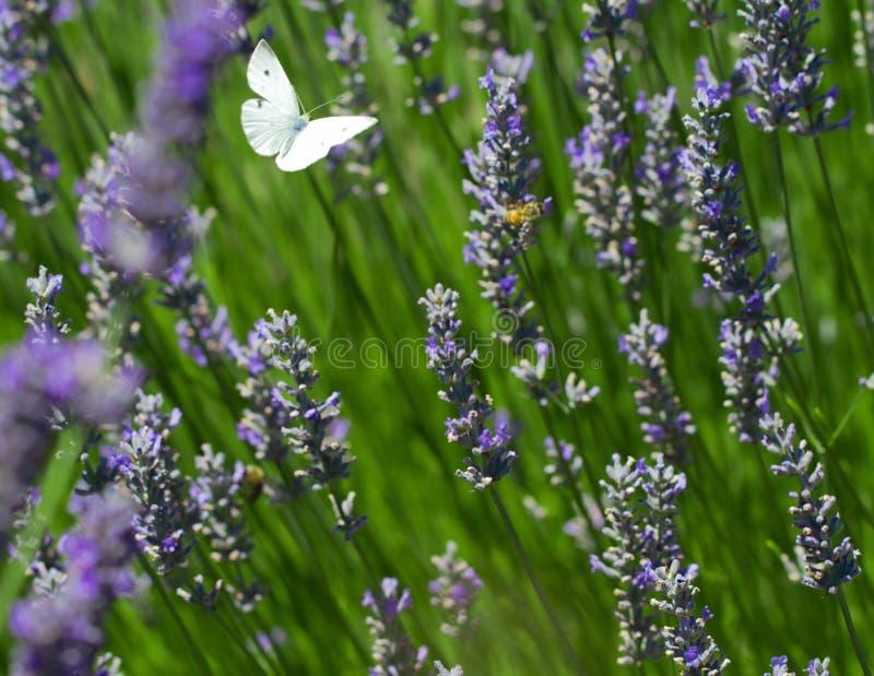 Weißer Schmetterling über Lavendel stockfotos