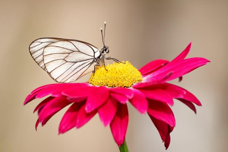 Weißer Schmetterling auf einer roten Blume an einem Sommertag draußen stockbild