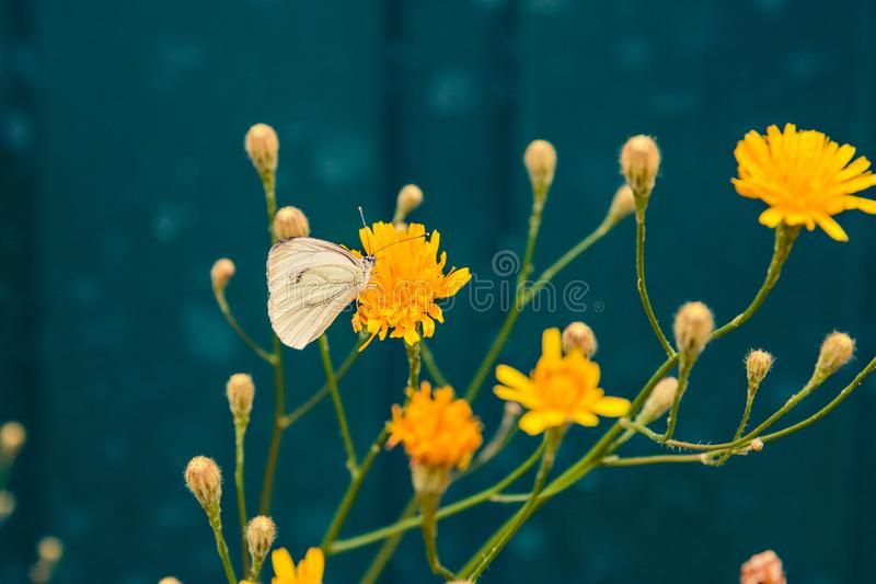 Weißer Schmetterling auf gelber Blumensommernatur stockfotografie