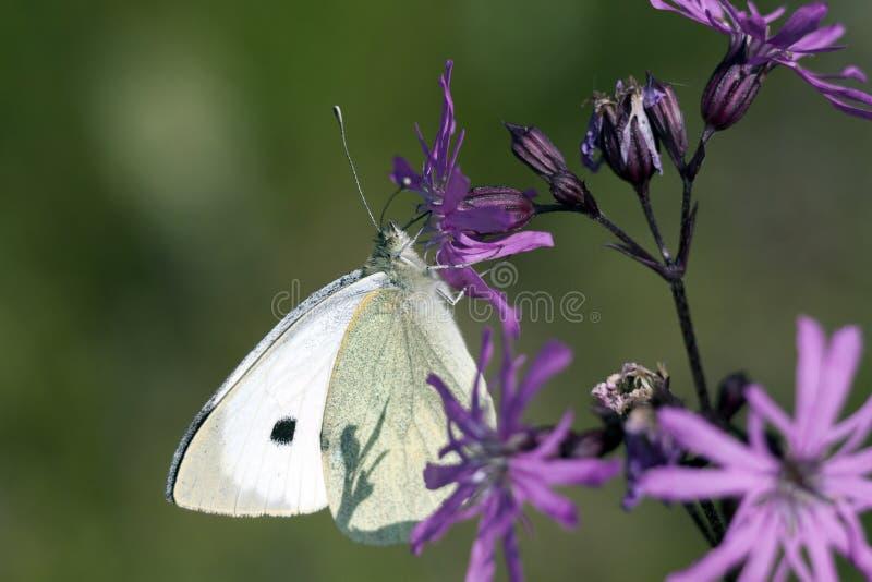 Weißer Schmetterling auf purpurroten Blumen stockfotos
