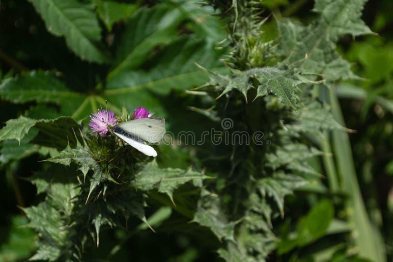 Weißer Schmetterling auf violetter Distelblume, mit Stämmen und grünem L lizenzfreies stockfoto