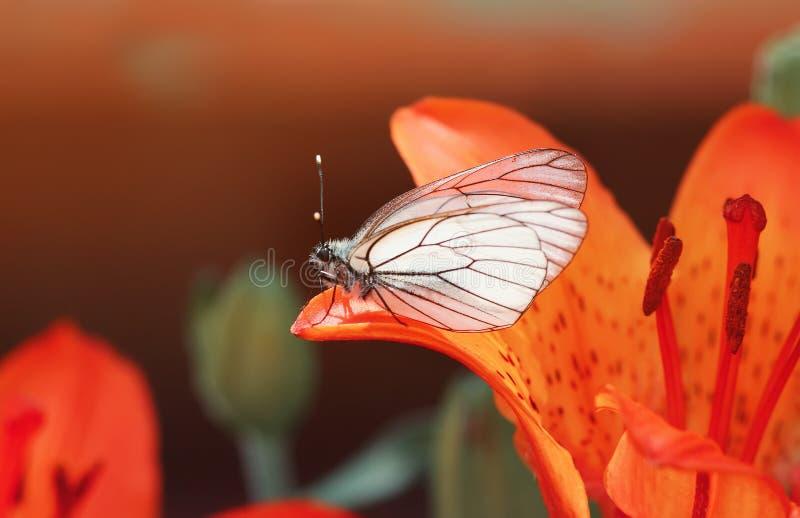 weißer Schmetterling, der auf einem orange Lilienblumenblatt sitzt lizenzfreie stockbilder