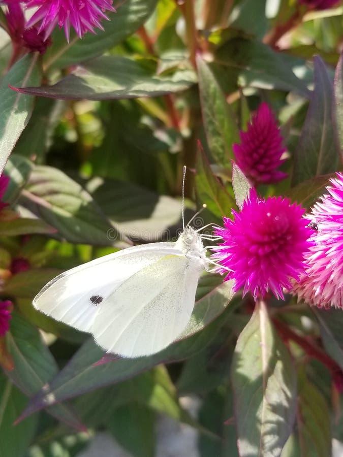 Weißer Schmetterling lizenzfreies stockfoto