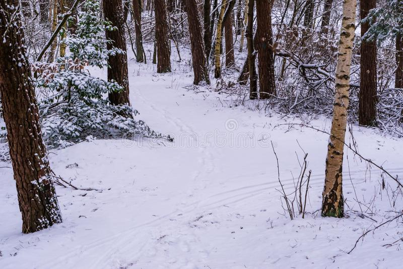 Weißer schneebedeckter Waldweg, das Holz in der Wintersaison, Straße und Bäume bedeckt im weißen Schnee, niederländische Waldland stockfotos