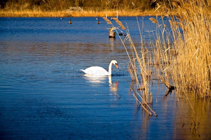 Weißer Schwan auf einem blauen Teich stockbild