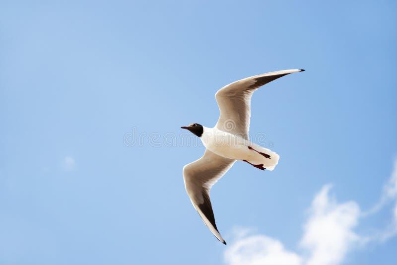 Weißer Seevogel mit schwarzem Kopf und den Flügelspitzen, die in der blauen Luft fliegen und ansteigen, füllte mit Wolken lizenzfreie stockfotos