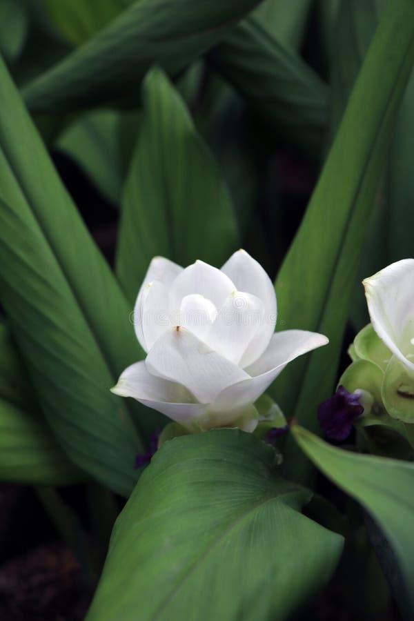Weißer Siam Tulip auf den Kindertagesstättenanlagen Kurkuma alismatifolia oder Sommertulpe ist ein tropische Betriebseingeborenes stockbilder
