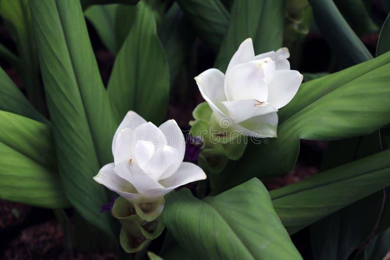Weißer Siam Tulip auf den Kindertagesstättenanlagen Kurkuma alismatifolia oder Sommertulpe ist ein tropische Betriebseingeborenes lizenzfreies stockfoto