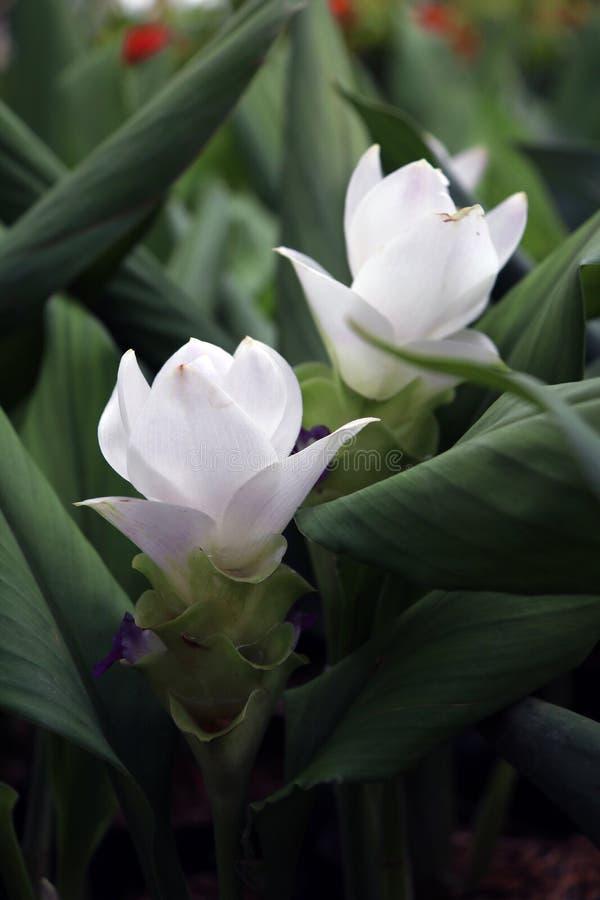 Weißer Siam Tulip auf den Kindertagesstättenanlagen Kurkuma alismatifolia oder Sommertulpe ist ein tropische Betriebseingeborenes lizenzfreie stockfotos