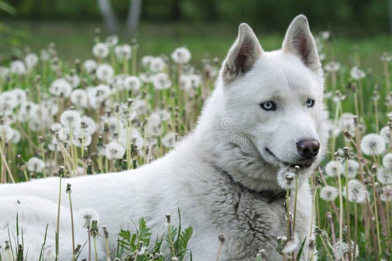 Weißer sibirischer Husky, der in der Löwenzahnwiese liegt lizenzfreies stockbild