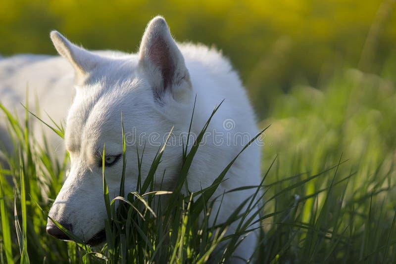 Weißer sibirischer Husky, der im Gras liegt stockfotografie