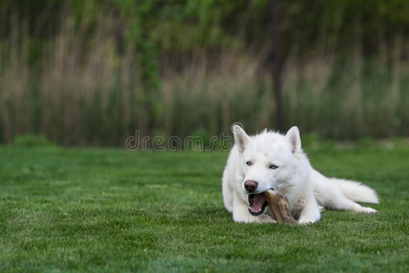 Weißer sibirischer Husky, der Knochen isst stockbilder