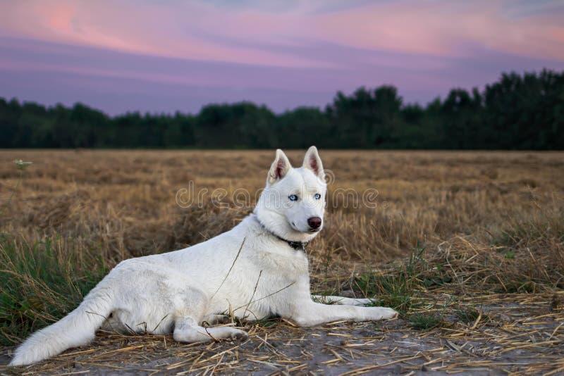 Weißer sibirischer Husky, der nahe Maisfeld liegt stockfotos