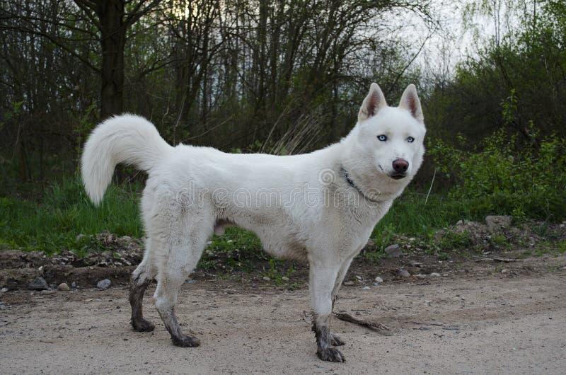 Weißer sibirischer Husky mit schlammigen Socken stockfotos