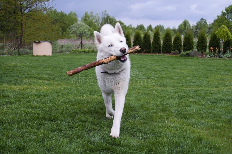 Weißer sibirischer Husky spielt mit dem Stock lizenzfreies stockfoto
