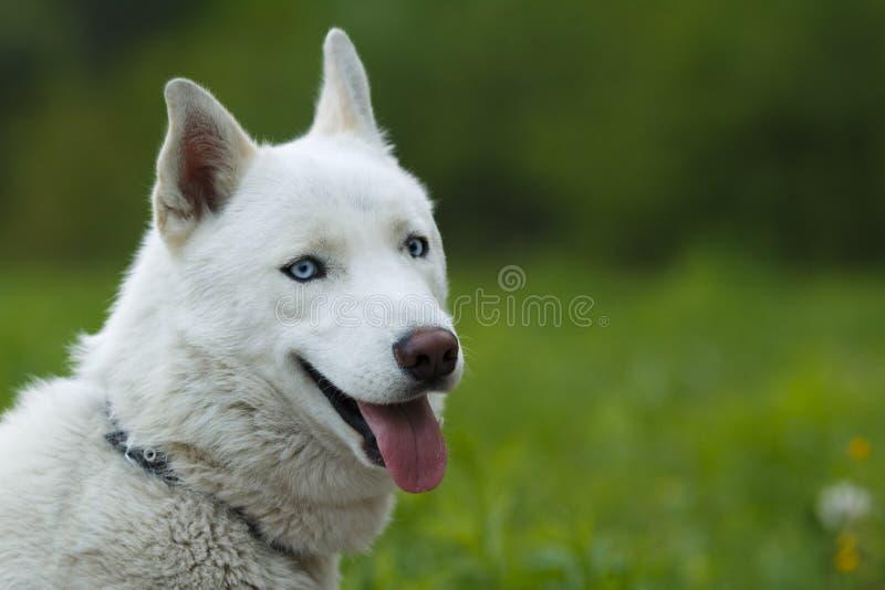 Weißer smileing sibirischer Husky lizenzfreie stockfotos