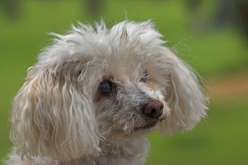Weißer Spielzeug-Pudel-Hund lizenzfreie stockbilder