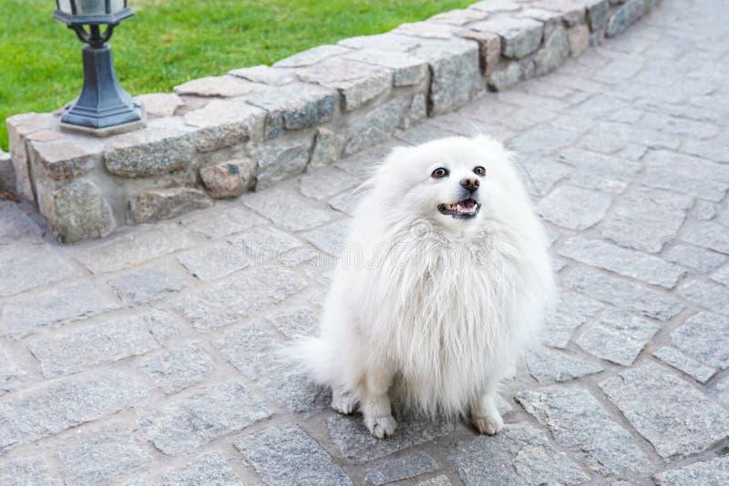 Weißer Spitzhund auf grünem Naturhintergrund, Kopienraum stockbilder