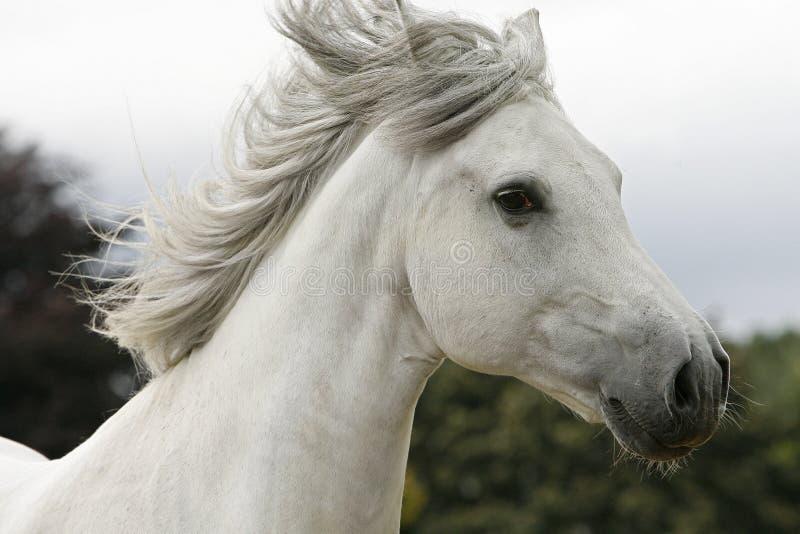 Weißer Stallion stockfotos