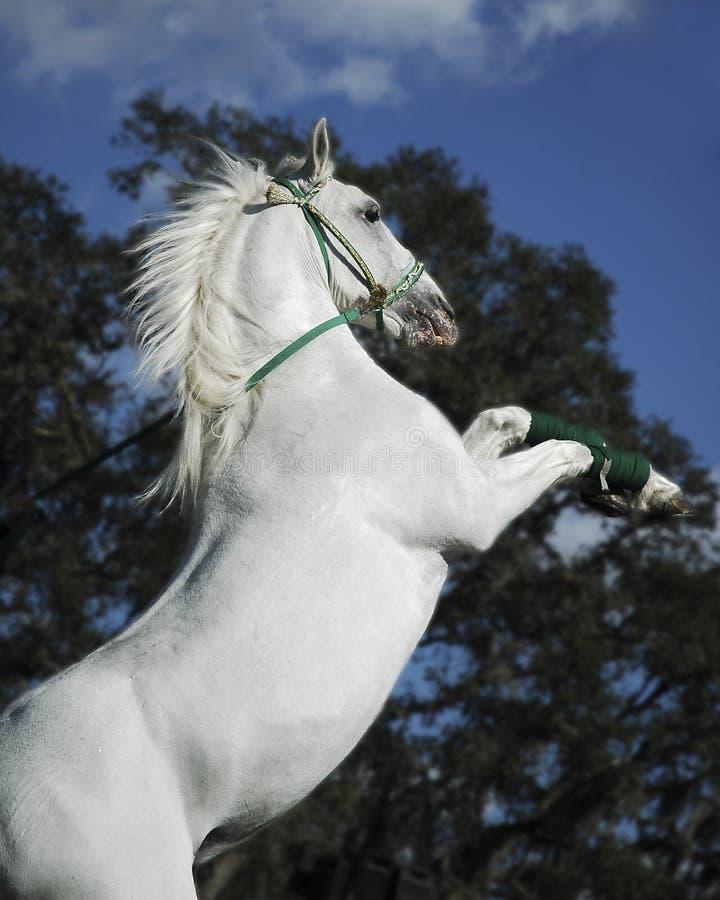 Weißer Stallion stockfotografie