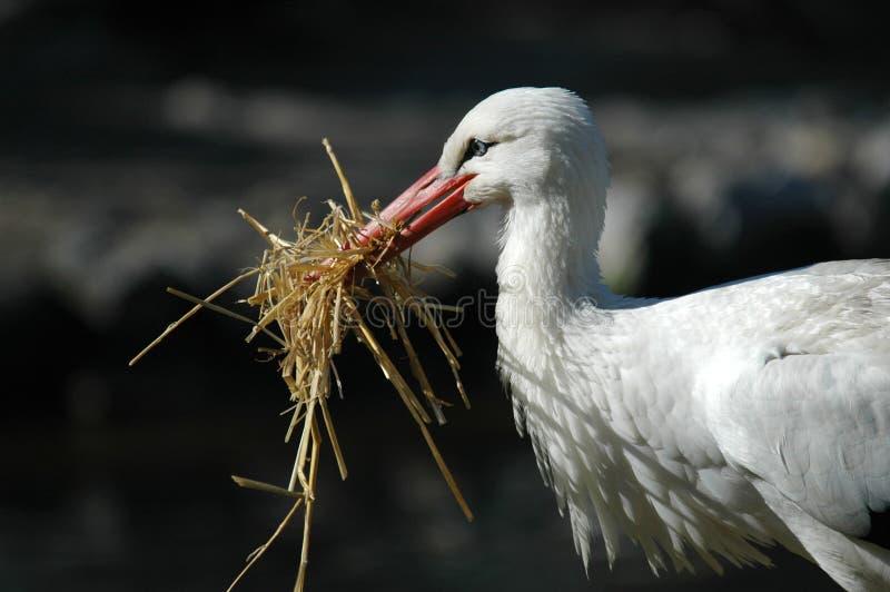 Weißer Storch stockfoto