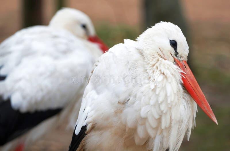 Download Weißer Storch stockfoto. Bild von vogel, portrait, freundschaft - 12202964