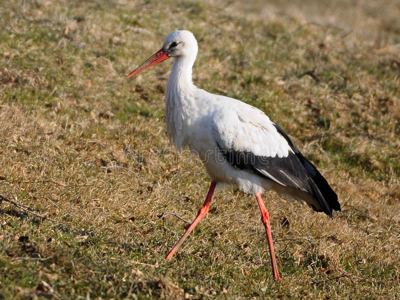 Download Weißer Storch stockbild. Bild von gehen, seite, ansicht - 13481325