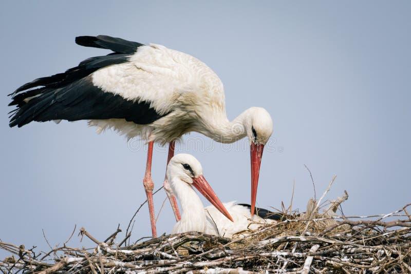 Weißer Storch auf Nest stockfotos