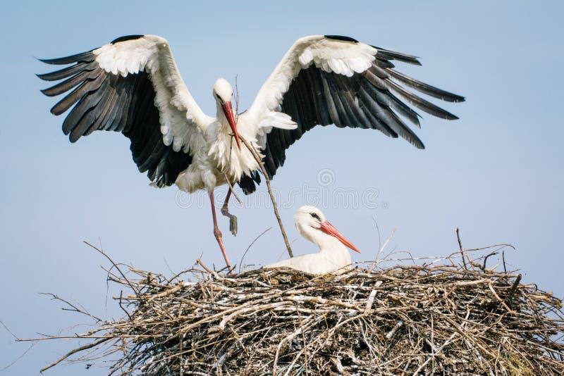 Weißer Storch auf Nest lizenzfreie stockfotos