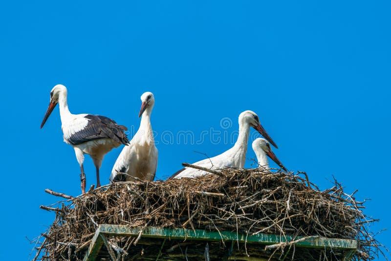 Weißer Storch - Ciconia Ciconia stockbilder