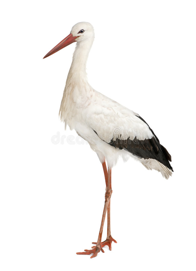 Weißer Storch - Ciconia Ciconia (18 Monate) lizenzfreies stockfoto