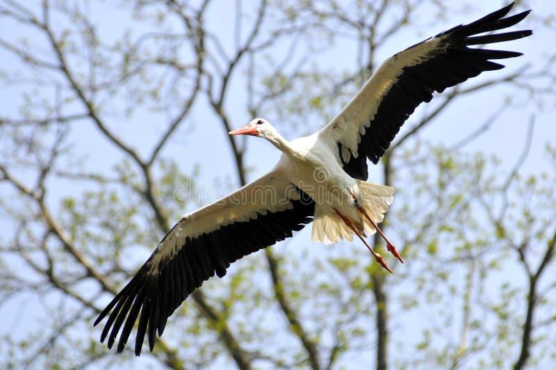 Weißer Storch im Flug stockbilder