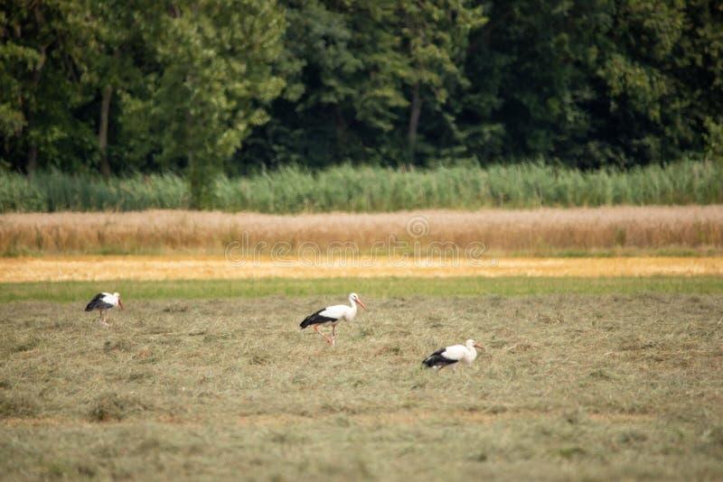 Weißer Storch im Sommer auf Feld stockfoto