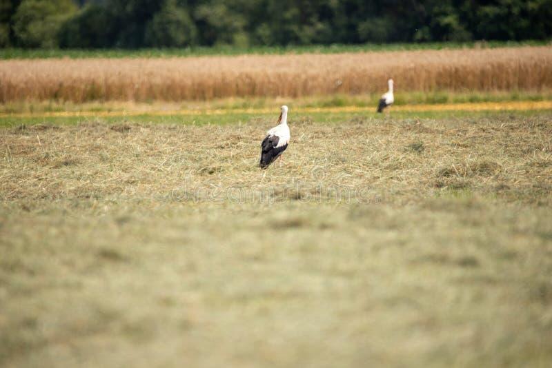 Weißer Storch im Sommer auf Feld stockfotos