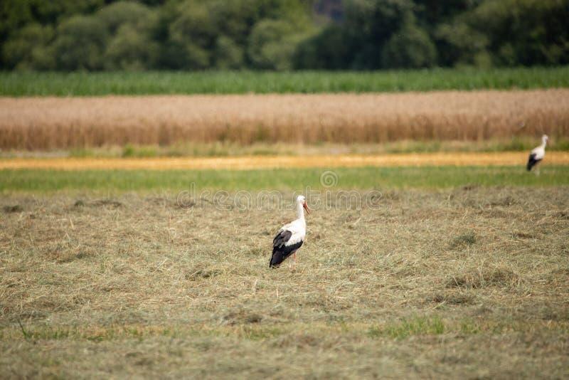 Weißer Storch im Sommer auf Feld lizenzfreie stockfotografie