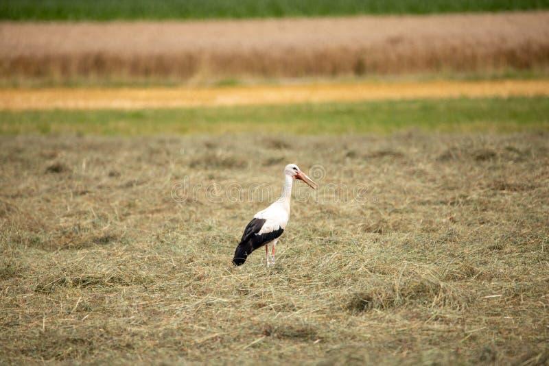 Weißer Storch im Sommer auf Feld lizenzfreie stockbilder