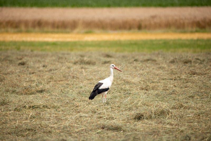 Weißer Storch im Sommer auf Feld lizenzfreie stockfotos
