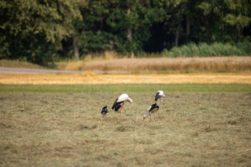 Weißer Storch im Sommer auf Feld stockbild