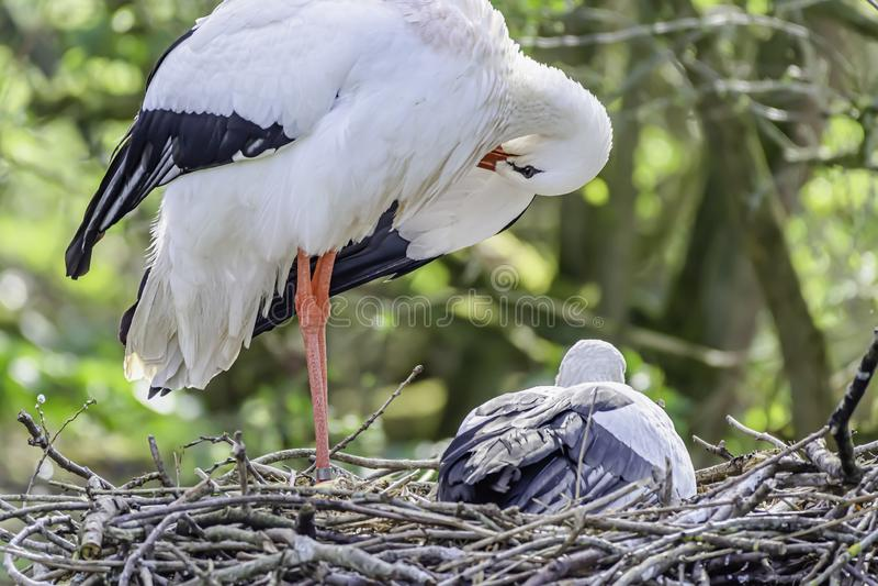 Weißer Storch mit Küken im Nest lizenzfreie stockfotografie