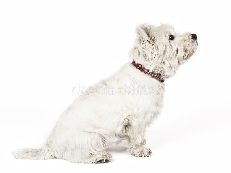 Weißer Terrier lizenzfreie stockfotografie