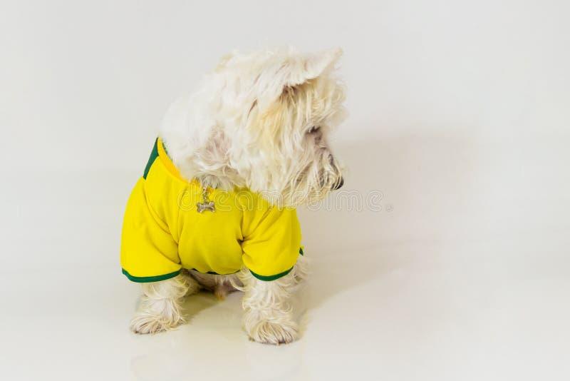 Weißer Terrier des Brasilianerwesthochlands, der etwas betrachtet stockbild
