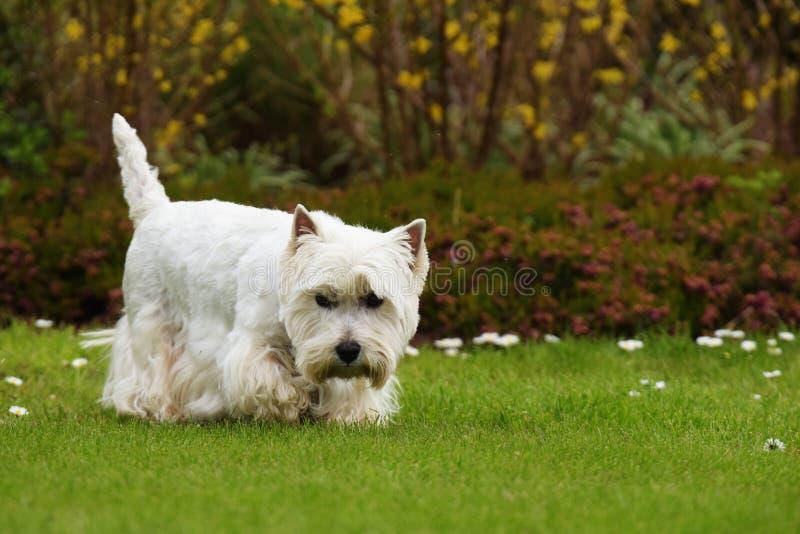 Weißer Terrier des Westhochlands stockfoto